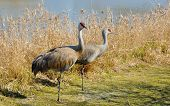 Portrait of the couple Sandhill Crane on the lake poster