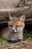A Cute Red Fox cub in British Countryside poster