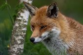 A Red Fox seen in British Countryside poster