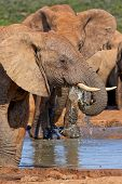 Male elephant having a refreshing drink on a hot day poster