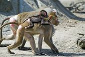 a baboon family carrying it´s baby on the back poster