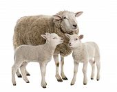 a Ewe with her two lambs in front of a white background poster