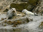 Mother harbour seal and pup on Mandarte Island B.C. Canada poster