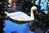 A quiet corner of the picturesque park. White swan swims on the smooth surface of the water poster