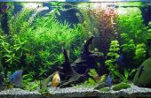 A beautiful planted tropical freshwater aquarium with Discus Fish poster