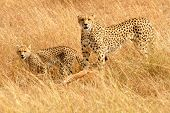 African Cheetahs (Acinonyx jubatus) on the Masai Mara National Reserve safari in southwestern Kenya. poster