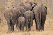 Breeding herd of rear end elephant walking away int the trees poster