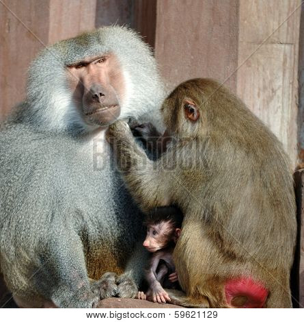Monky family. Mother, father and baby