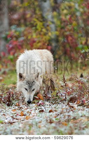 Blonde Wolf (Canis lupus) Sniffs in the Snow - captive animal poster
