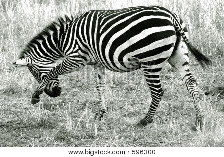 An Itchy Zebra