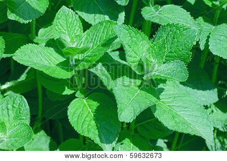 Closeup of fresh peppermint leaves