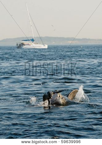 Great White Shark (Carcharodon carcharias) attacks a seal with splashes poster