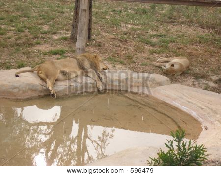 Sleepy lions at the zoo park poster