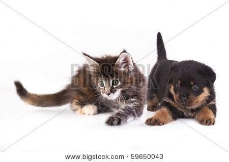 puppy  Rottweiler and kitten breeds Maine Coon, Cat and dog