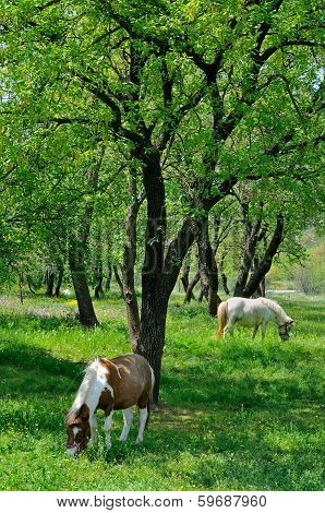 Two horses grazing in the nature