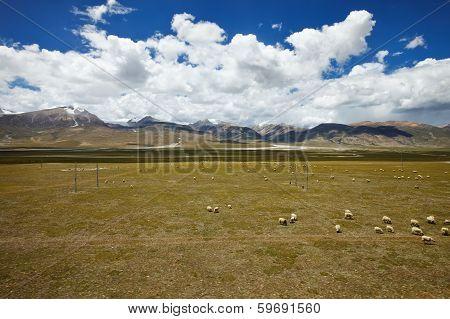 Sheep Grazing On Tibetan Plateau Plains