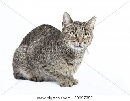 Isolated Striped Cat