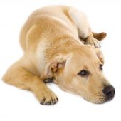 Cute golden retriever puppy lying isolated on white poster