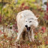 Blonde Wolf (Canis lupus) Open Mouth - captive animal poster