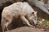 Blonde Wolf (Canis lupus) Prowls Outside Den - captive animal poster