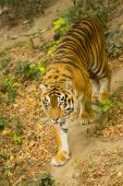 young striped strong Amur tiger in the zoo poster