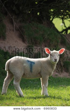 Spring Lamb done to a T