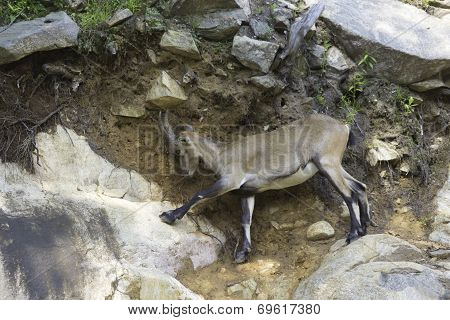 An Ibex on a rocky cliff