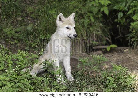 A single Arctic Wolf cub