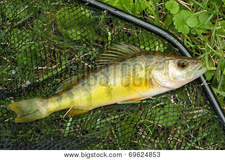 Yellow Perch