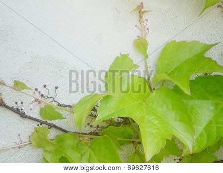 Green Virginia Creeper Or Five-leaved Ivy Climbing On A Plater Wall