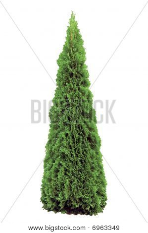 Thuja Occidentalis 'smaragd' Isolated On White