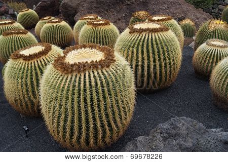 Magnificent big cactuses