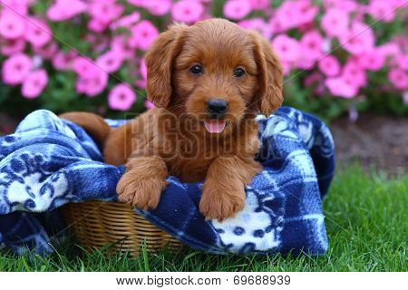 Poodle and Labrador Retriever mix puppy in basket