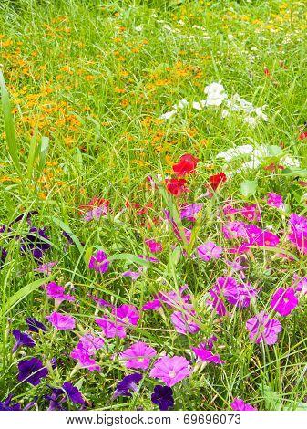 Flowers Of Pink Petunia
