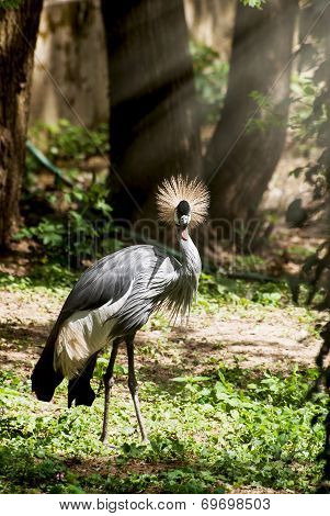 Portrait Of A Crested Crane