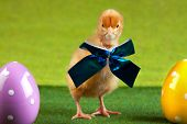 Easter chick concept, all arranged on green. Studio shot, poster