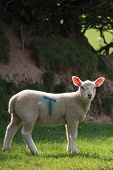 Very cute Spring lamb in a country field with pink ears wondering why I'm taking a photo of him. poster