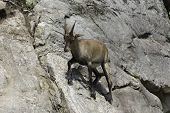 A single Ibex stands on a rocky cliff poster