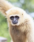 close up face of White Cheeked white hand Gibbon or Lar Gibbon poster