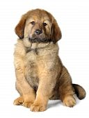Puppy tibetan mastiff in front of white background and facing the camera poster