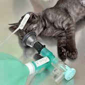Animal surgery cat with anesthesia breathing circuit set poster