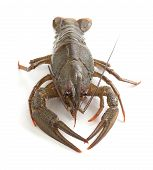 Alive isolated crawfish on the white background poster