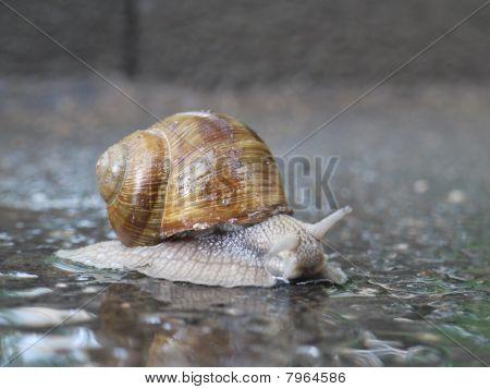 Snail After Rain