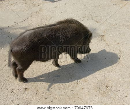 Black Diminutive Pig