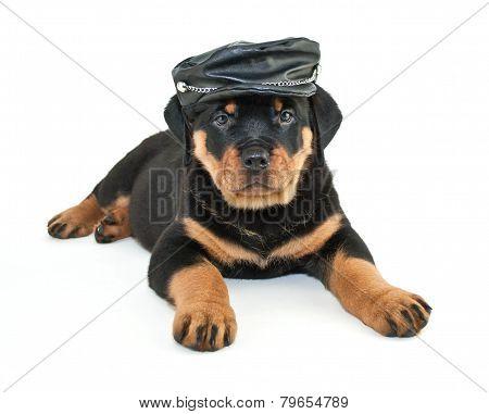 Biker Rottweiler Puppy