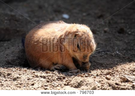 Prairie dog eating, under the sun poster
