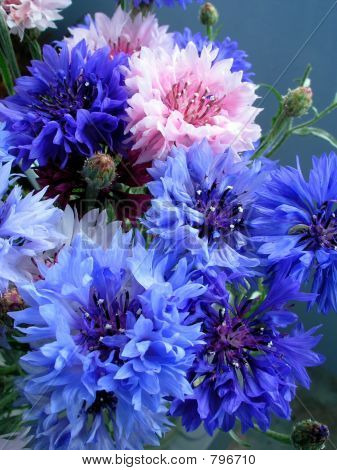 Blue cornflowers close-up poster