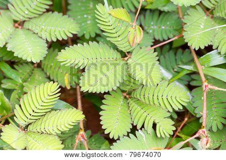 Mimosa Pudica (sensitive Plant).