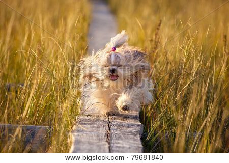 Shih-tzu dog running on wooden path at swamp with high grass. Yellow sunset light.