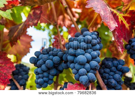 Ripe Napa Valley Grapes